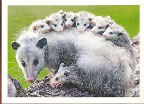 Vačice opossum