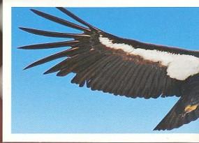 Kalifornský kondor (1/2)