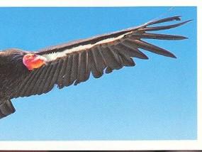 Kalifornský kondor (2/2)