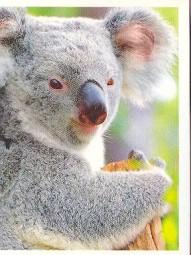 Koala (2/2)