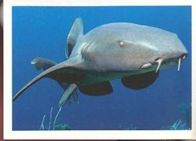 Žralok vouskatý