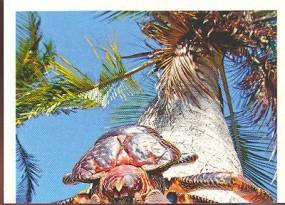 Krab palmový (1/2)