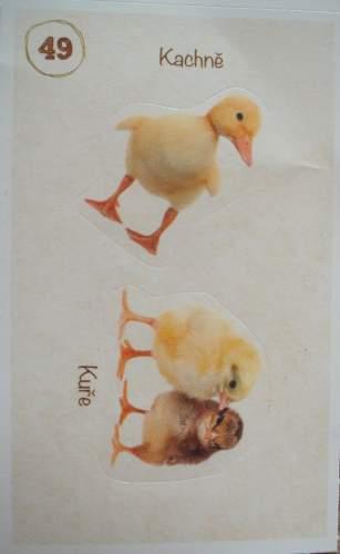 Kachně a kuře