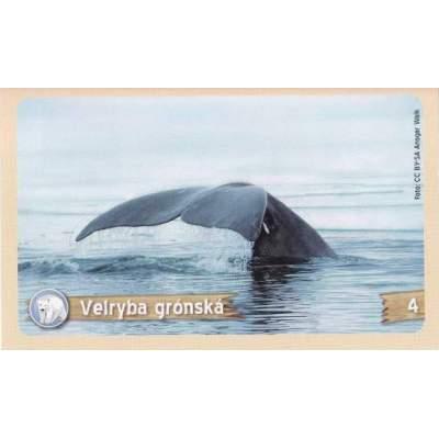 Velryba grónská
