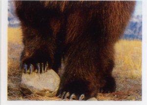 Medvěd kodiak (2/2)