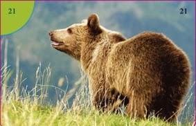 Medvěd hnědý (Brtník)
