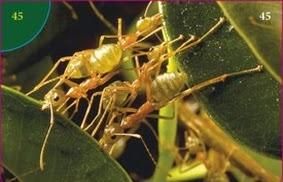 Mravenec Tkalec