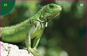 Leguán zelený